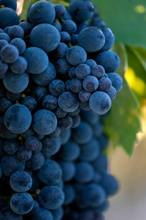 Grape vine blue Stock Photo - 17299071
