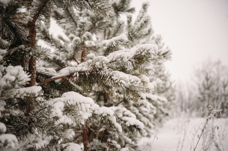 firry: winter forest, snow-covered pine tree, a lot of snow Stock Photo