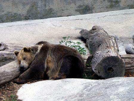 Sleeping brown bear Stock Photo