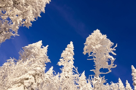 Tall trees without leaves in winter with azure sky Stock Photo - 8875130