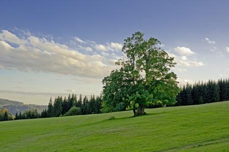 broadleaved tree: Broadleaved Tree Standing Alone in Czech Landscape