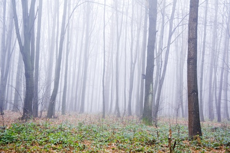 broadleaved tree: Forest full of trees covered by a fog in late autumn