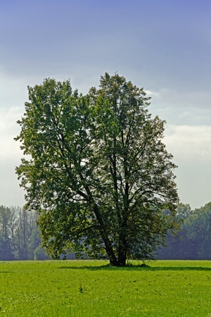 broadleaved tree: Broadleaved Spring Tree Standing Alone in Czech Landscape