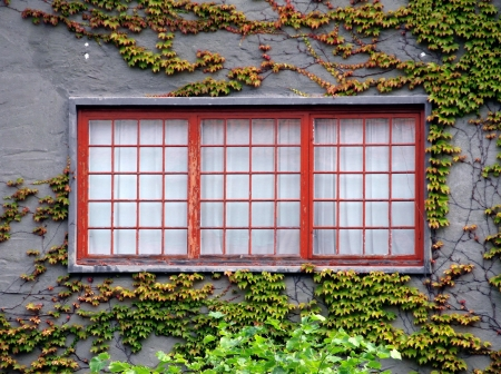 Old window covered by a growing ivy photo