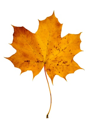 Yellow maple leaf on a white isolated background photo