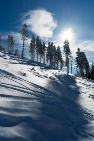 Tall trees in winter with azure sky photo