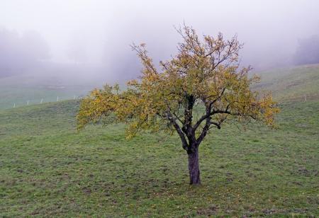 broadleaved tree: Broadleaved tree in a white autumn fog Stock Photo