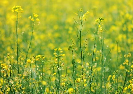 rapeoil: Agriculture, yellow rape flowers used to produce rape-oil