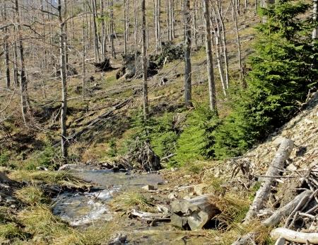 lluvia acida: Muertos Viejos �rboles en el bosque profundo en Polonia