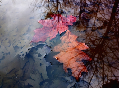 Two red and orange leaves sunken in a puddle