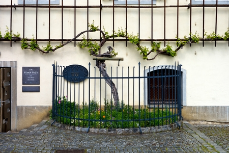 Oldest vine in the world in Maribor, Slovenia