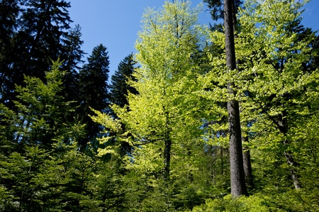 broadleaved tree: Beautiful forest in Beskydy mountains on Czech and Slovakian border