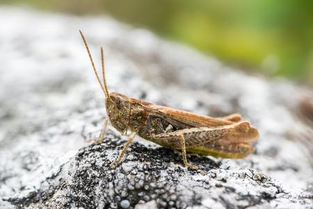 chorthippus: Chorthippus biguttulus (grasshopper) on a small stone Stock Photo