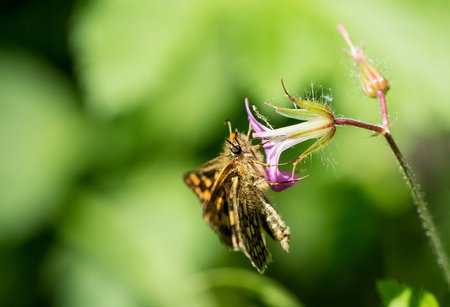 campestris: Atalopedes campestris sachem skipper on a purple flower