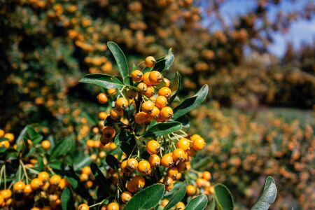 Sea-buckthorn (hippophae rhamnoides) with very healthy orange fruits improtant for better nutrition and vitamins Zdjęcie Seryjne