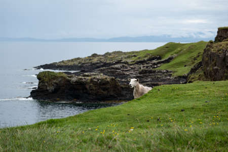 White sheep on a hill feeding itself in front of the rocks at Isle of Skye in Scotland, United Kingdom