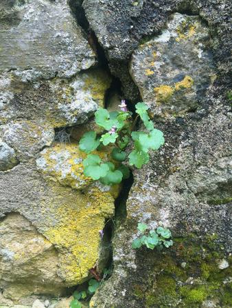 sone: Flower in rock