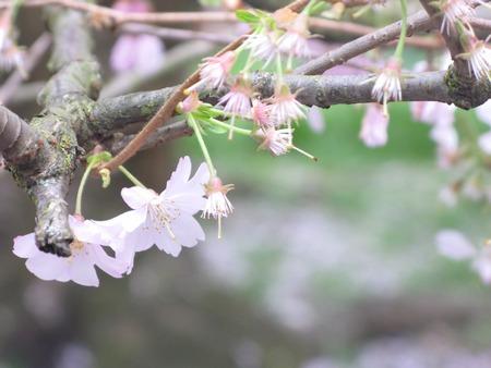 cerezos en flor: Flores de cerezo. Foto de archivo