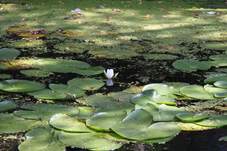 delft: Water lily in Delft channel. Stock Photo