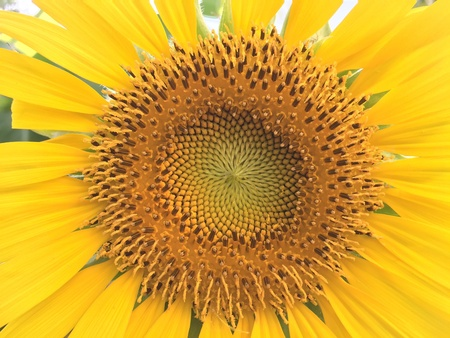 up: Close up sunflower