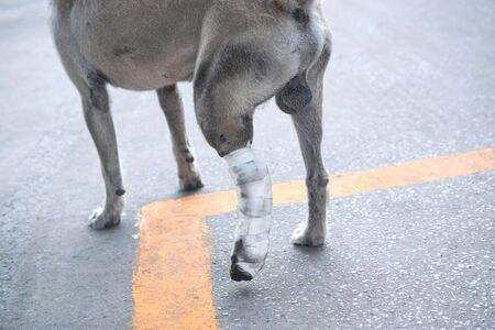 Some one very kind help the dog broken leg for veterinary and take care him to the house. Banco de Imagens