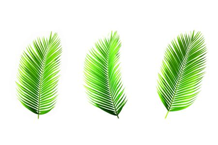 Set of palm leaves isolated on white for decor your project.