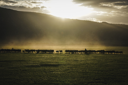 Shepards Herding livestock at dusk