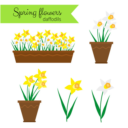 daffodil: Spring flowers in long container and pots. White narcissus and yellow daffodils isolated on white background.