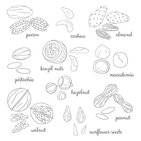 pecan: Hand drawn detailed outlined nuts isolated on the blackboard. Pecan, cashew, almond, brazil nut, pistachio, macadamia, hazelnut, walnut, peanut, sunflower seeds.