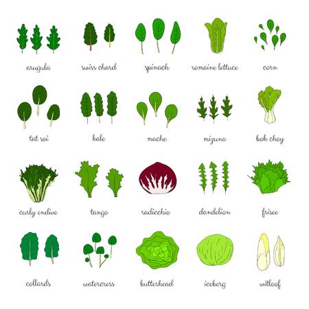 Dibujado a mano tipos populares de ensalada. Verduras de hoja verde. Diente de león, col, iceberg, rúcula, espinaca, el tango, achicoria, lechuga romana, maíz, escarola, maché, col china, mizuna, la col rizada, berro. Ilustración de vector
