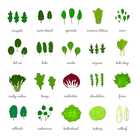 Hand drawn popular types of salad. Leafy greens vegetables. Dandelion, collards, iceberg, arugula, spinach, tango, radicchio, romaine lettuce, corn, frisee, mache, bok choy, mizuna, kale, watercress.