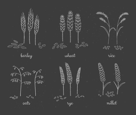 millet: Hand drawn outline cereals and grains on the blackboard. Barley, wheat, rice, oats, rye, millet. Illustration