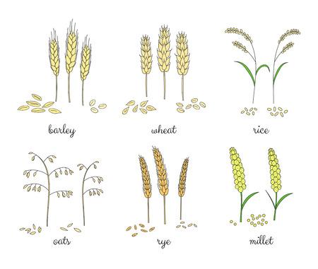 Hand getrokken graan op een witte achtergrond. Gerst, tarwe, rijst, haver, rogge, gierst.