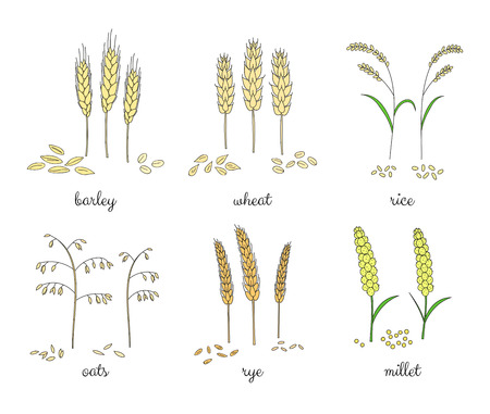 cereals: Hand drawn cereals and grains isolated on white background. Barley, wheat, rice, oats, rye, millet. Illustration