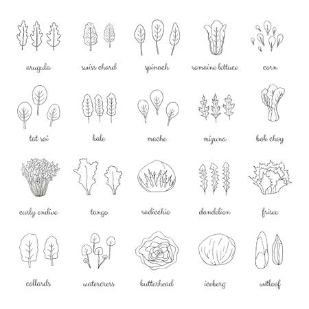 Ręcznie rysowane popularne rodzaje sałatek. Zarys zielonych warzyw liściastych. Mniszek lekarski, kapusta, góra lodowa, rukola, szpinak, tango, radicchio, sałata rzymska, kukurydza, frisee, mache, kapusta bok choy, jarmuż, rukiew wodna.