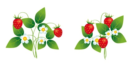Strawberry bushes with flowers and berries Illustration