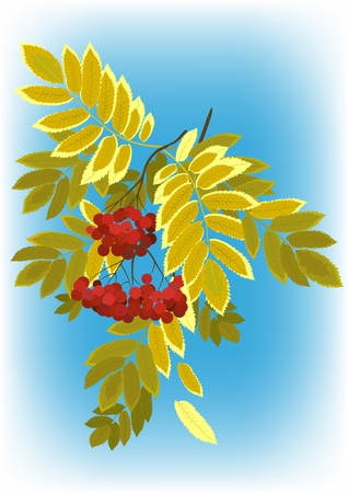 Autumn rowan branch with berries and leaves yellowing