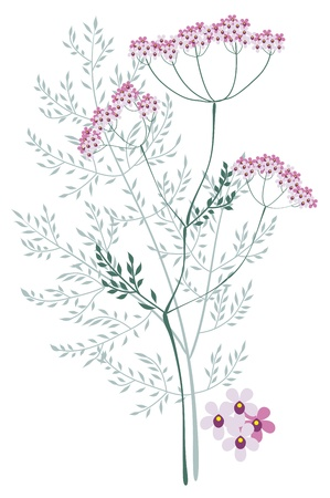 valerian: Valerian, a flowering meadow plants on a white background