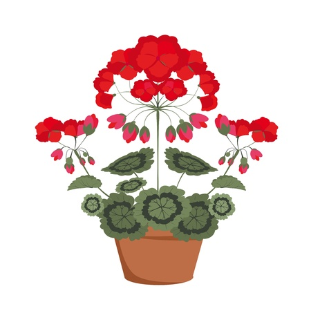 pelargonium with red flowers in a pot on a white background Vector