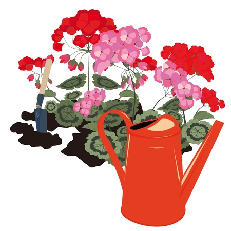 geraniums blooming in the garden and watering