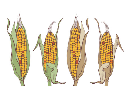 corn on the cob on a white background, illustration