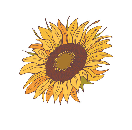 sunflower isolated: flower sunflower isolated on a white background, illustration
