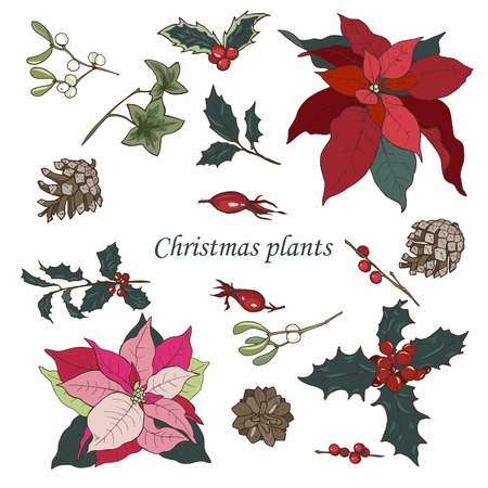 Christmas plants set on white background, poinsettia, Holly, cones, ivy and mistletoe, vector illustration