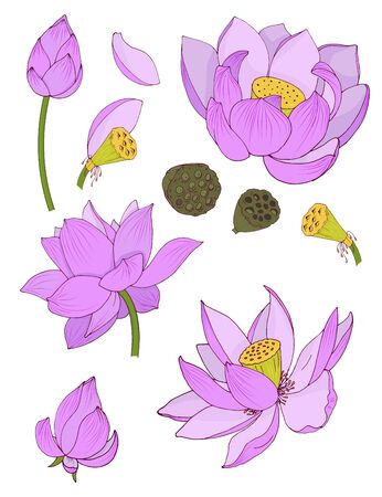 Flowers and buds of pink Lotus isolated on white background, vector illustration