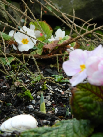 primroses: 2 Primroses plants, a seashell and Daffodil shoot Stock Photo