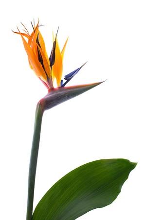 ave del paraiso: Aves de para�so de flores