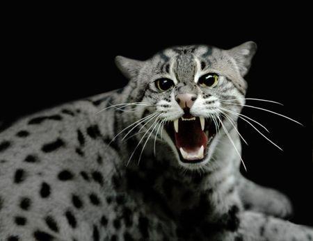 hiss: Hissing tiger cat Stock Photo