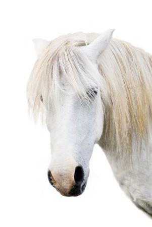 shetland pony: Angry grey pony