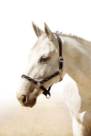 head protection: The head of elegant light grey horse Stock Photo