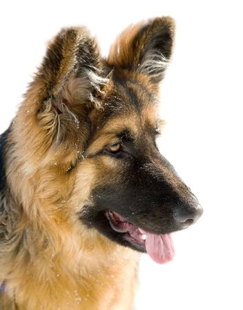 pappy:  Pappy of german shepherd dog  on the white background (close-up)